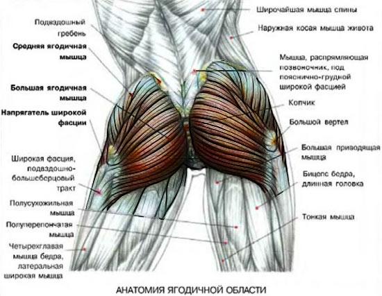 anatomiya-yagodits