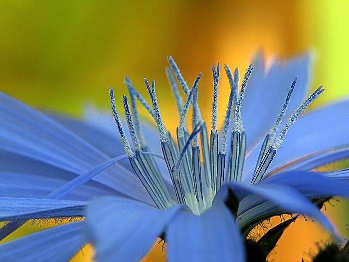 фото цикория цветка