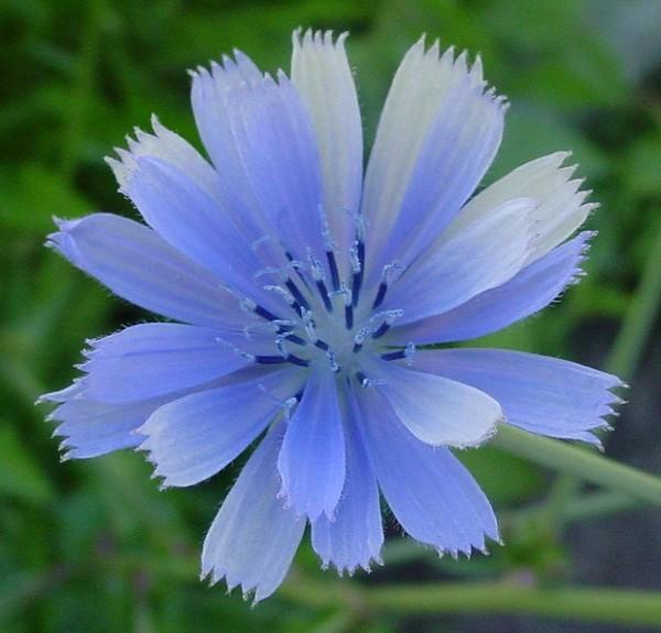 chicory_blue-600x575