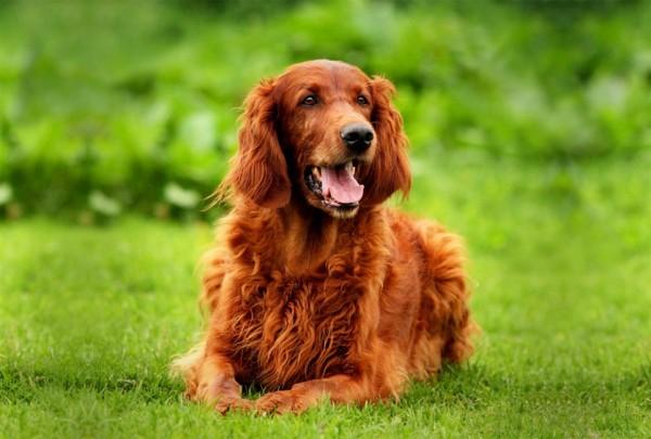 b_0_650_00___images_dogs_irland-setter-2jpg