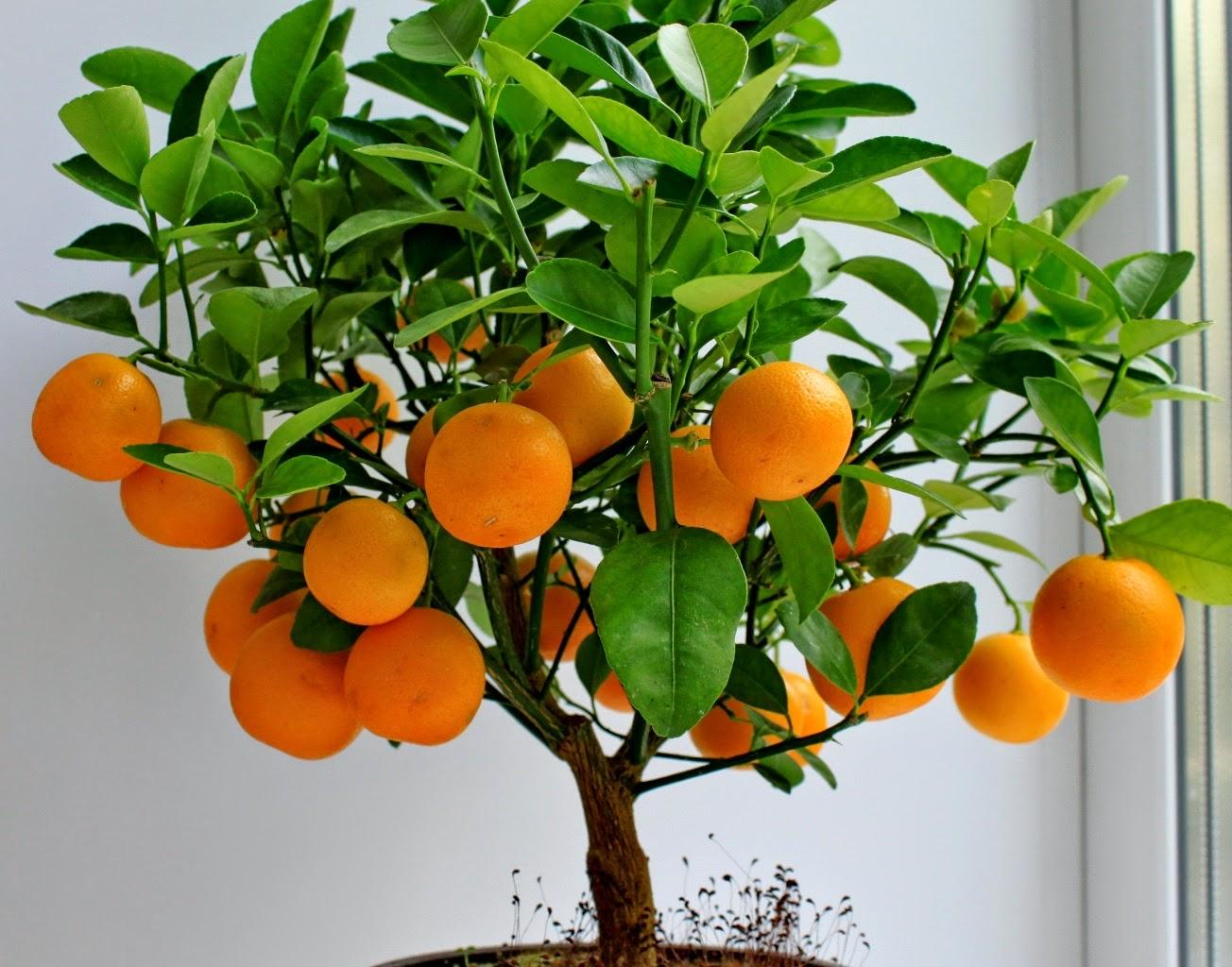 Вырастить мандарин из семечка в домашних условиях