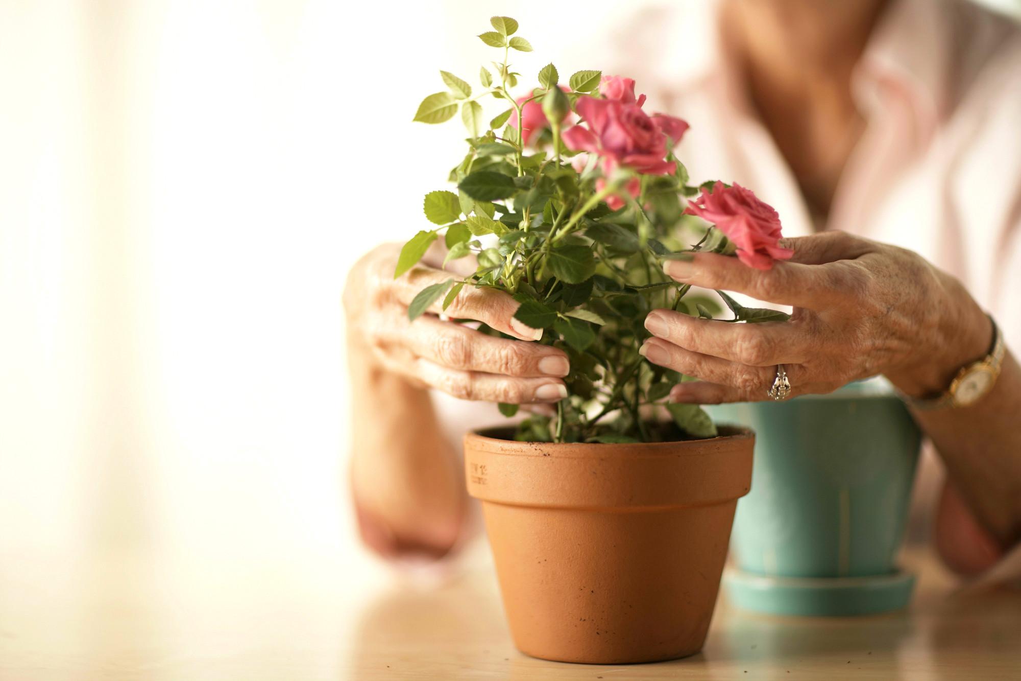 Уход за розой виды в домашних условиях