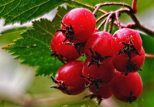 ягоды-боярышника