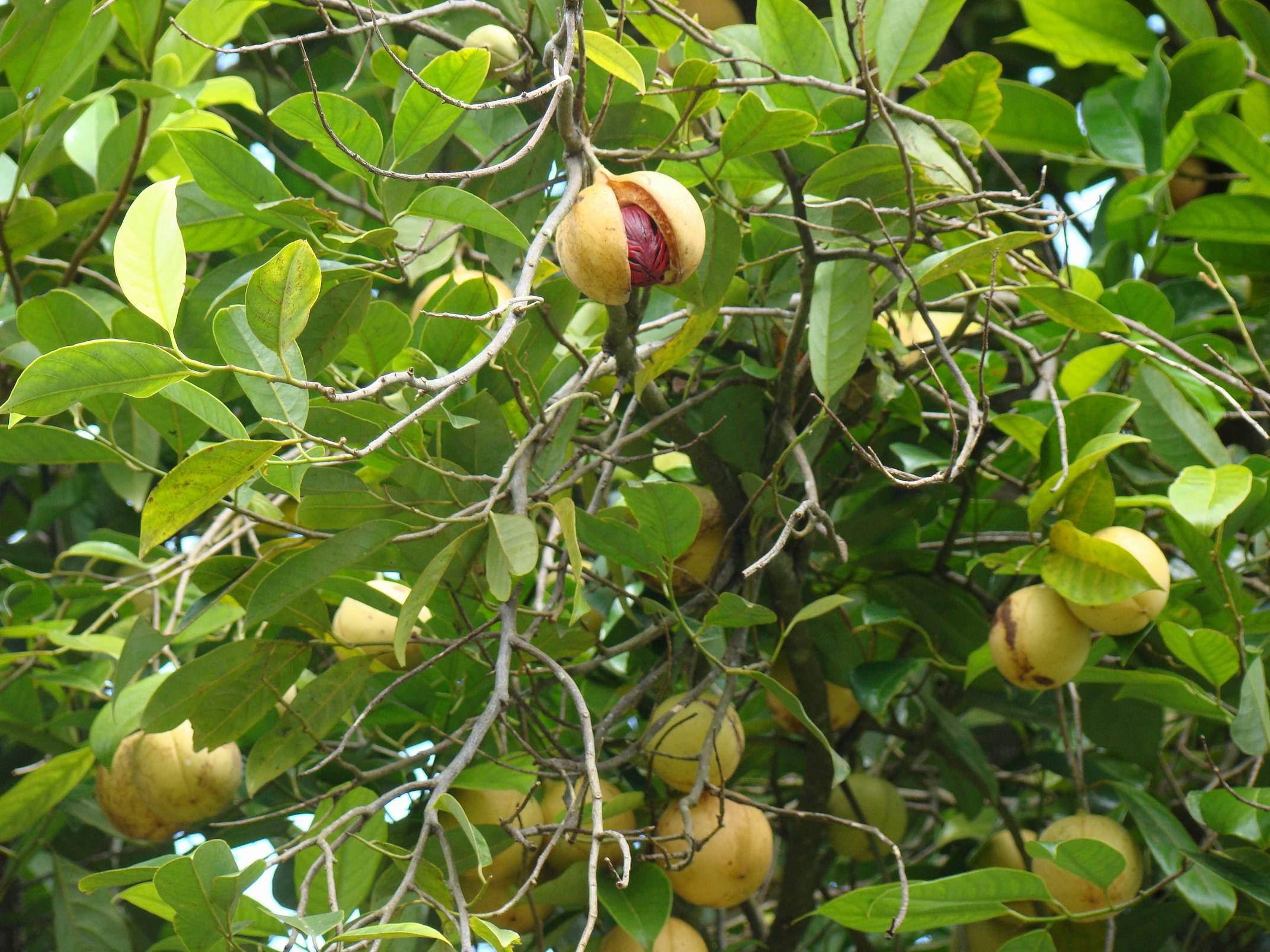 Nutmeg flower