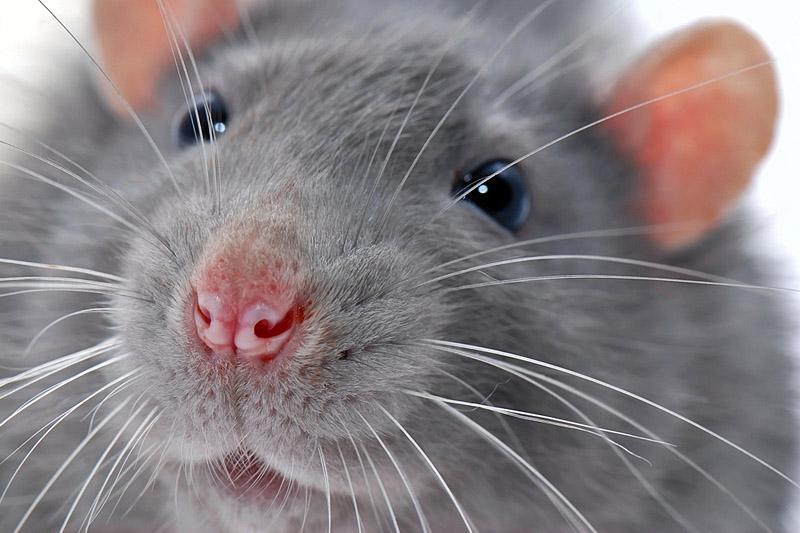 Мужчина крыса в сексе