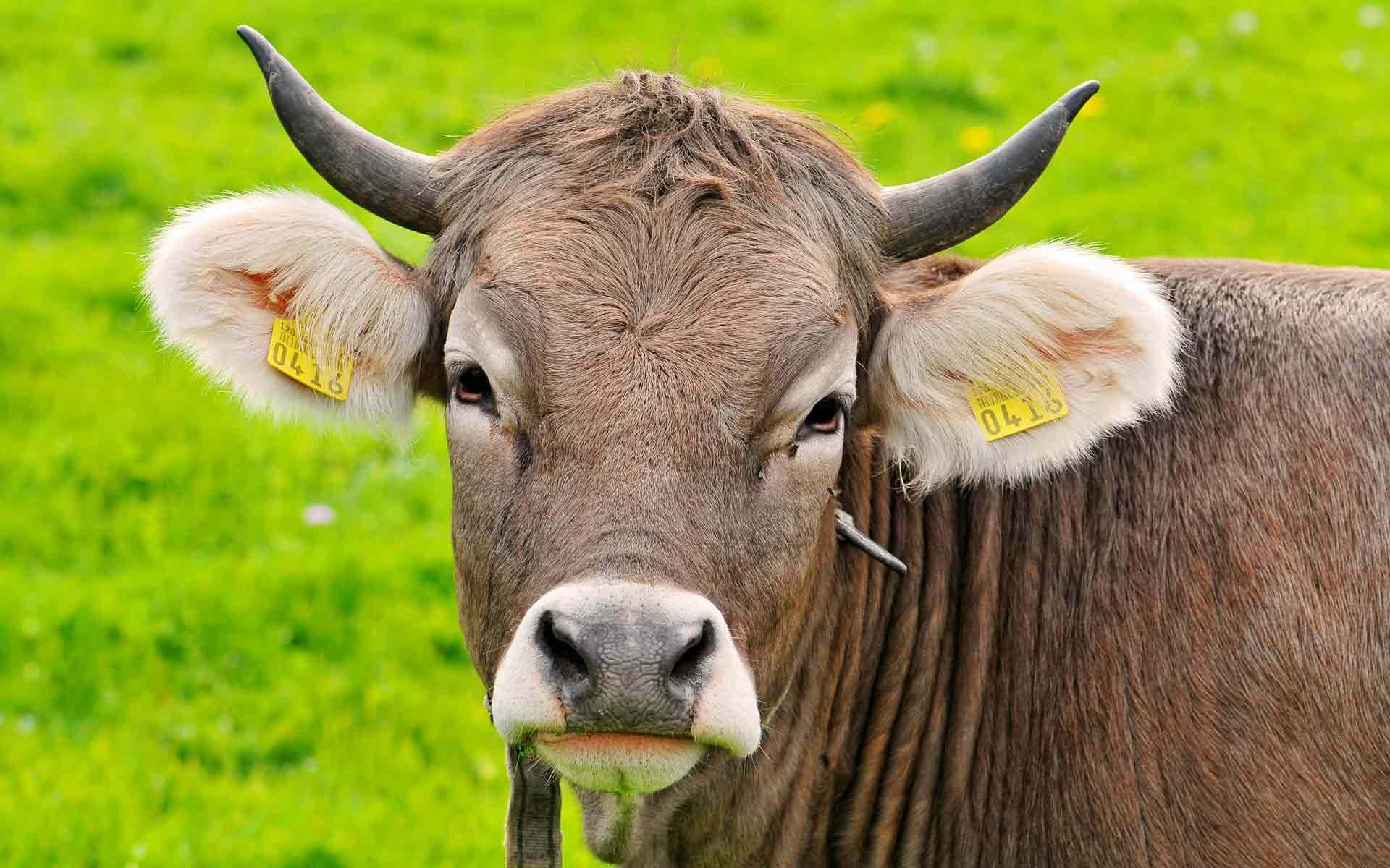 Секс между быком и коровой