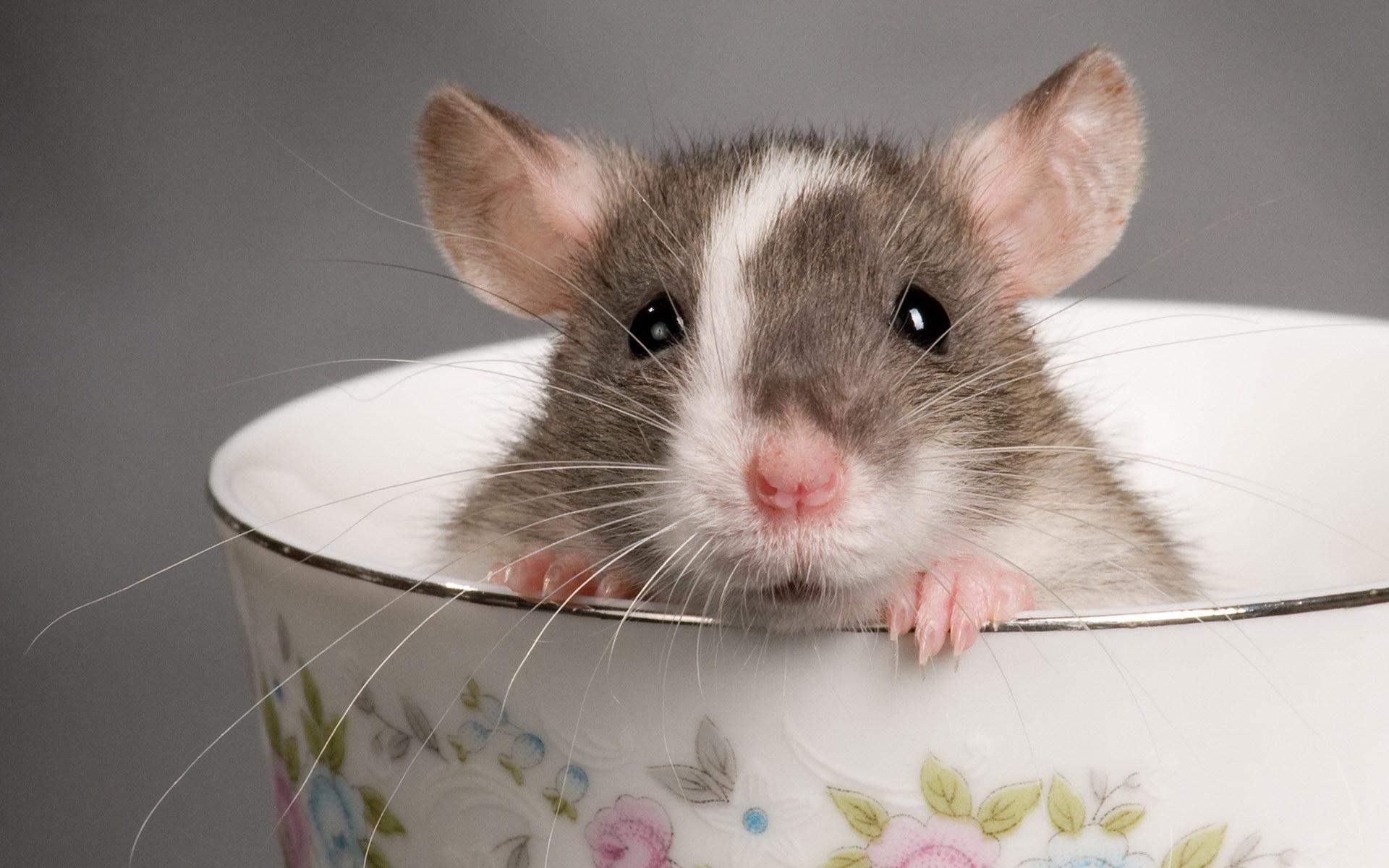 гороскоп крысы под знаком рыбы