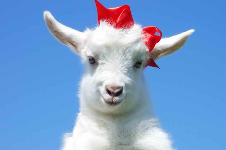 Сексуальная жизнь близнеца козы