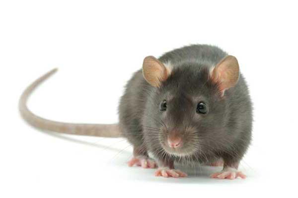 Секс в паре крыса кот