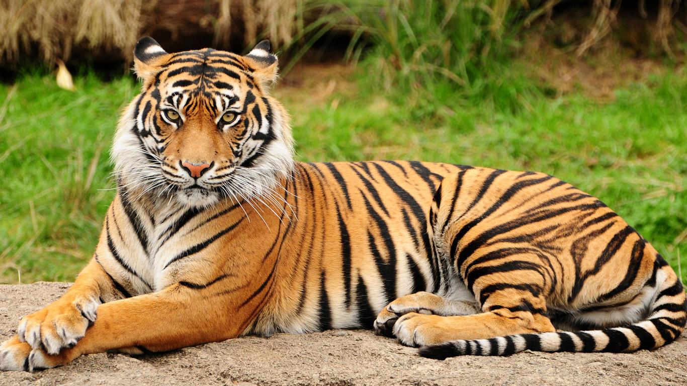 Секс бык и тигр