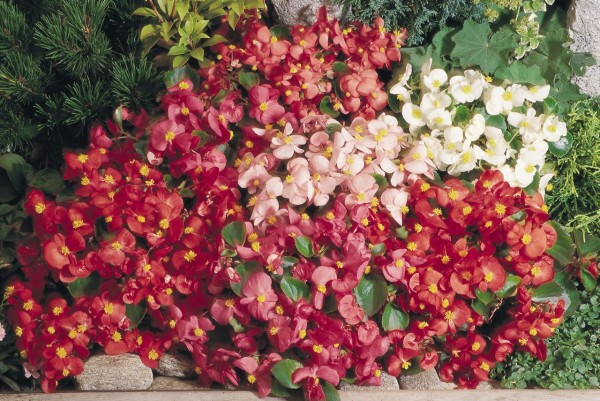 begonia-semperflorens-super-olympia-mix-c2500-3