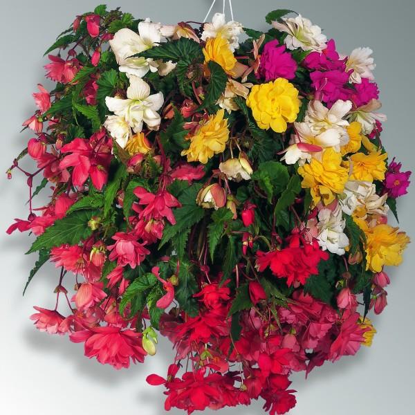 Begonia_x_tuberhybrida_4