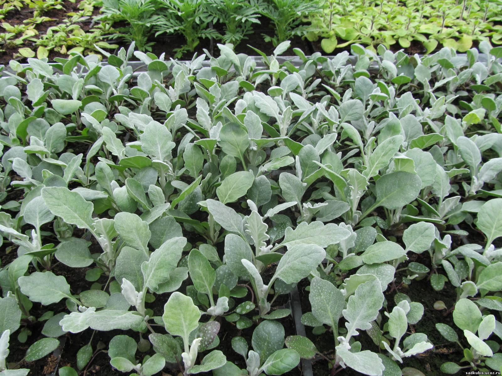 Посев цинерарии на рассаду 95
