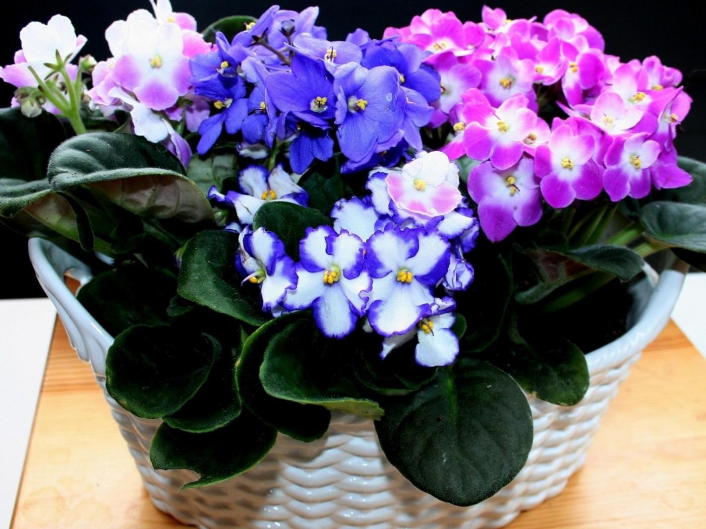 Цветы фиалки фото все