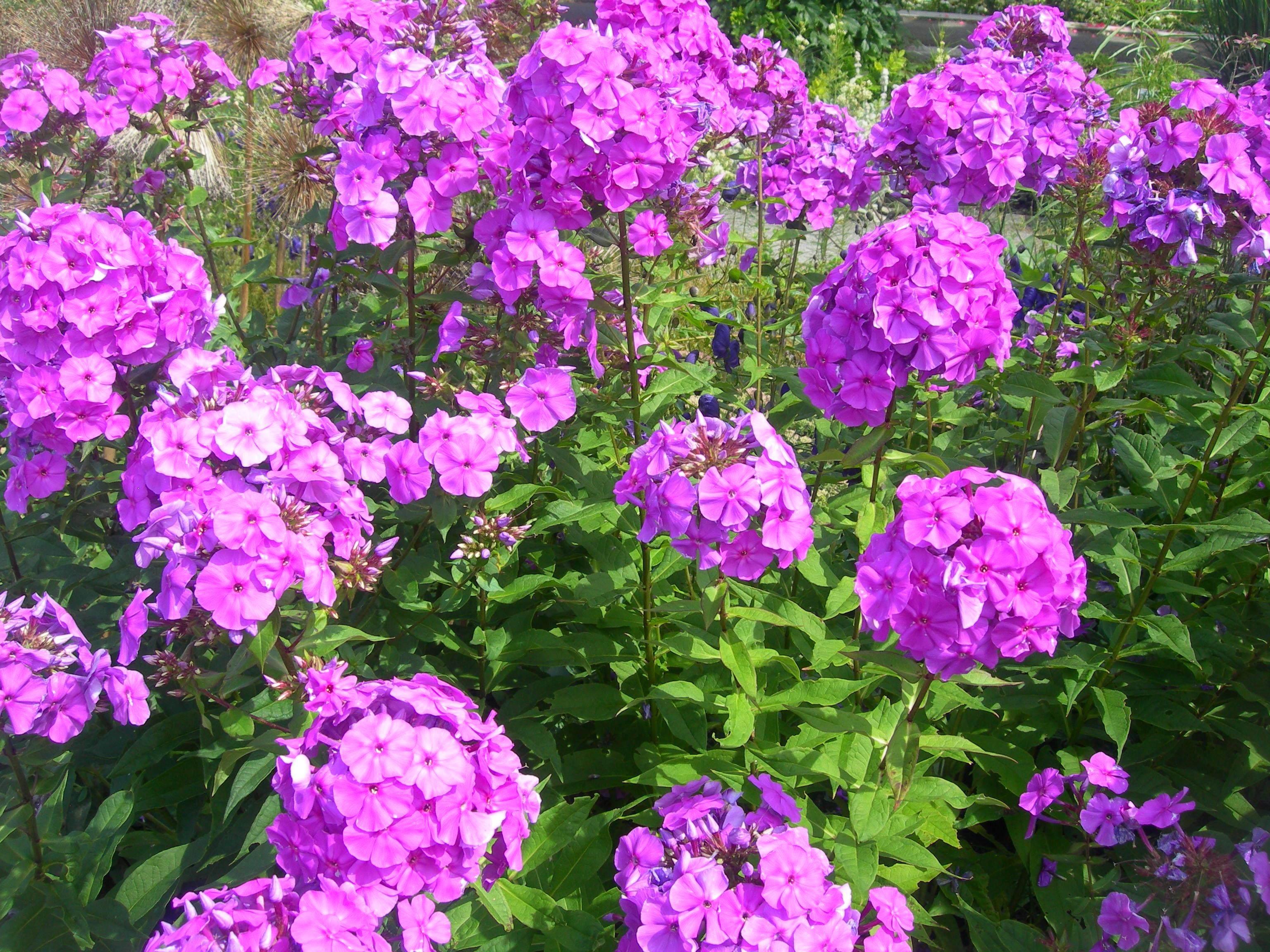 Цветы похожие на флоксы - Комнатные цветы и растения, уход за