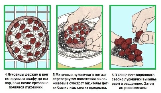 Гиацинт в домашних условиях как размножить 198