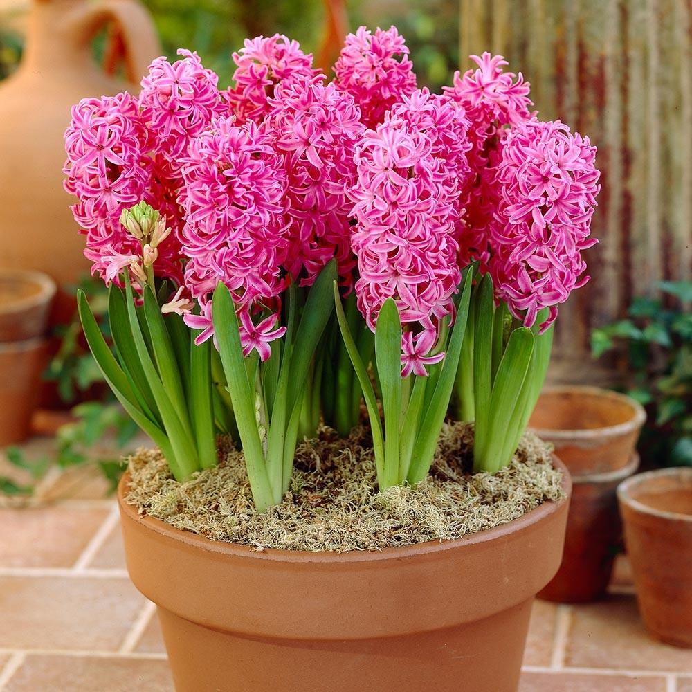 Гиацинт цветок домашний цветок