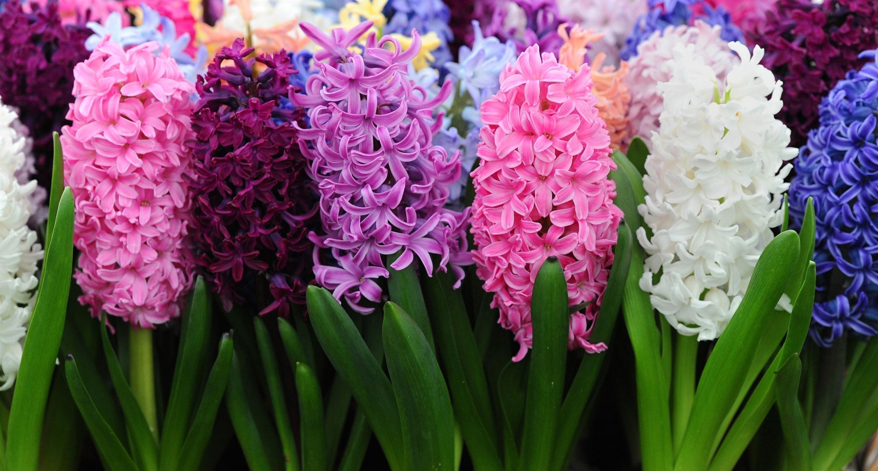 Цветы гиацинты и картинки