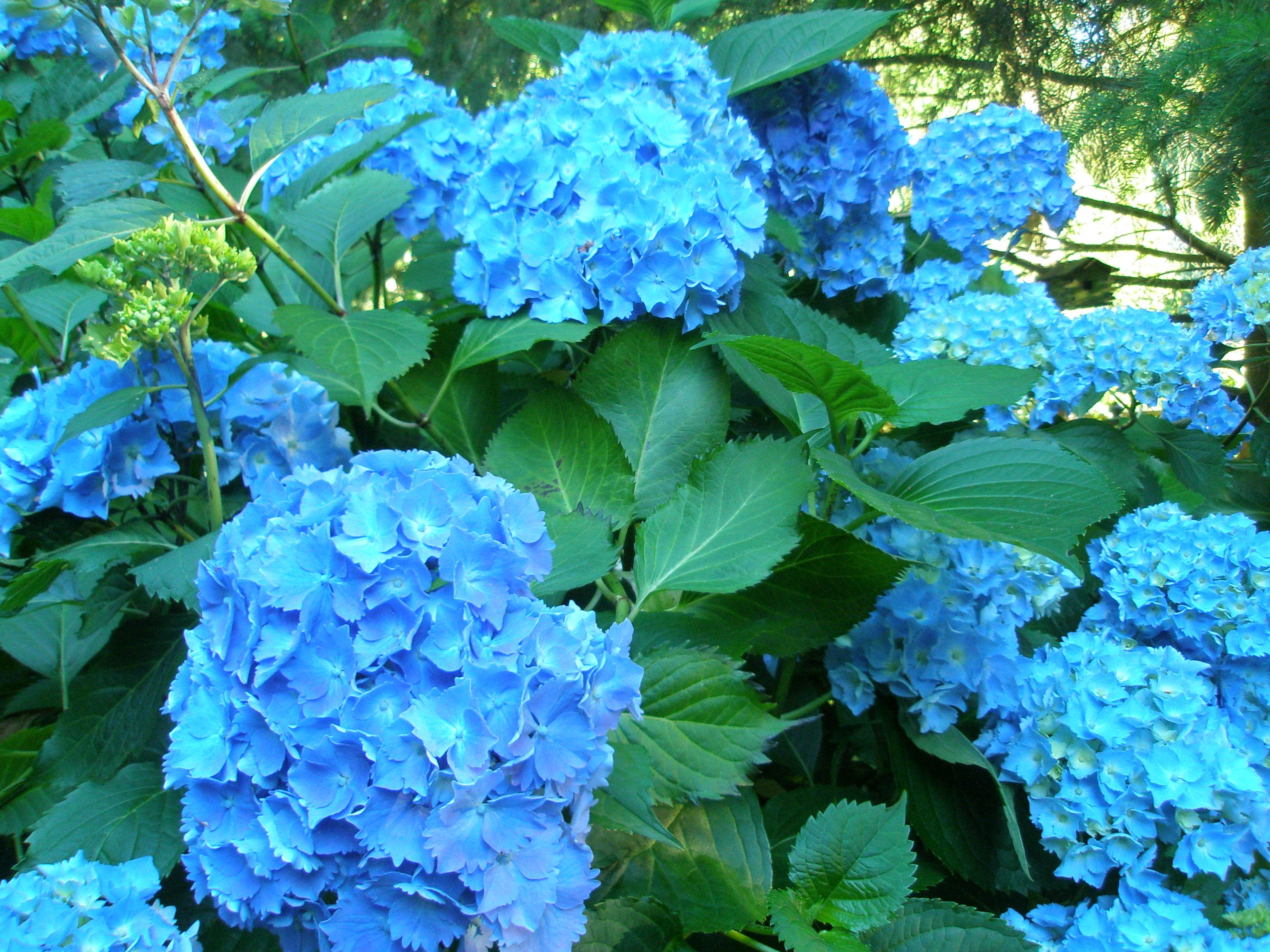 Виды цветка гортензия фото