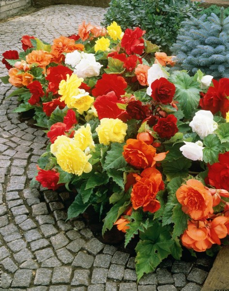 Mixed_Begonia_BorderJPG