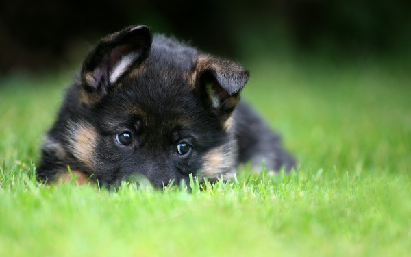 1405788431_german-shepherd-puppy-wallpaper-pet-dog-grass