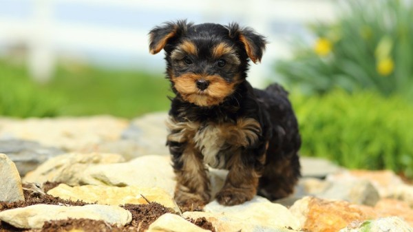 1480458465_yorkshire-terrier-photo-2