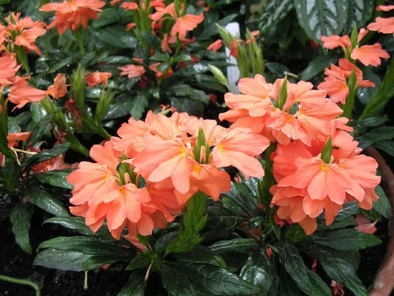 Цветок кроссандра - уход и 100