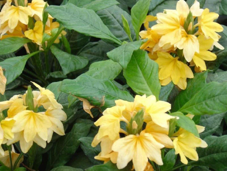 Цветок кроссандра - уход и 55