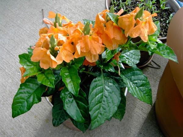 Цветок кроссандра - уход и 69