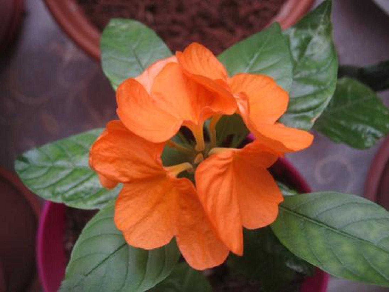 Цветок кроссандра - уход и 42