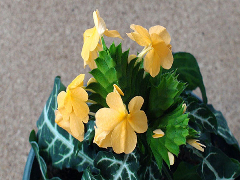 Цветок кроссандра - уход и 15