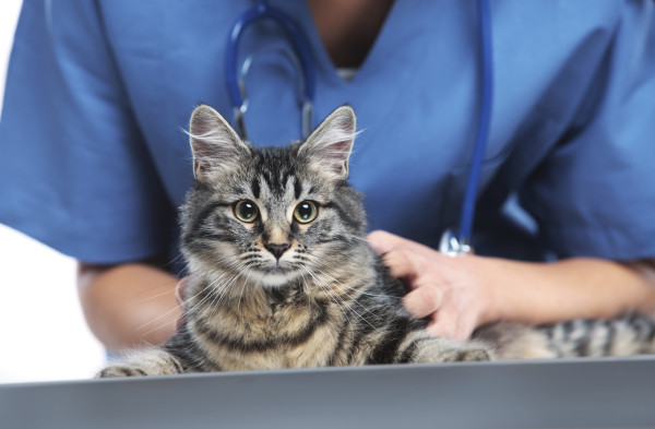 Close up shot of veterinarian making a checkup of a cute beautiful cat
