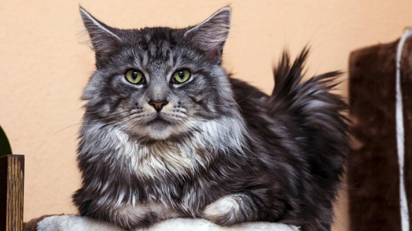 1480494901_maine-coon-photo-5