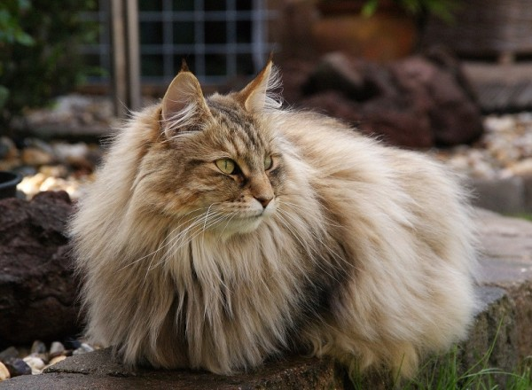32-Лесная кошка из Норвегии