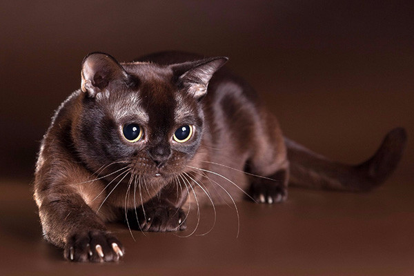 burmese-cat-3