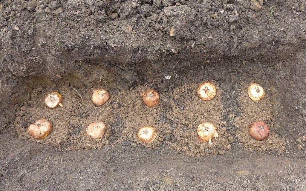 Когда сажать луковицы гладиолусов весной