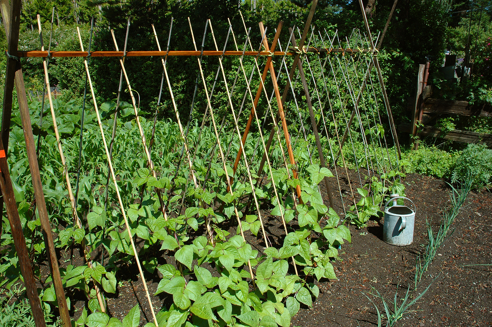 Зелёная фасоль выращивание и уход 82