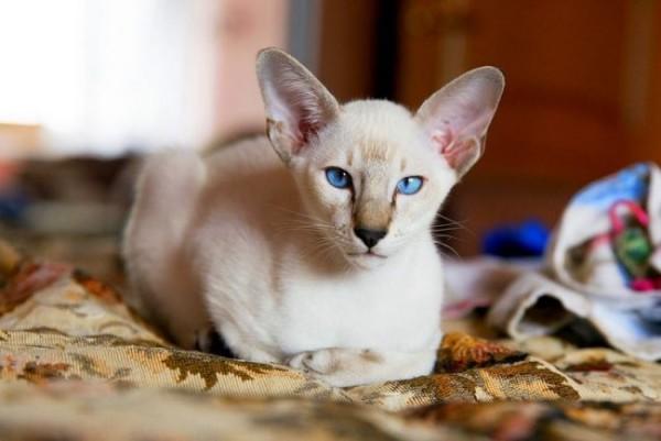 Oriental_cat_06-650x434