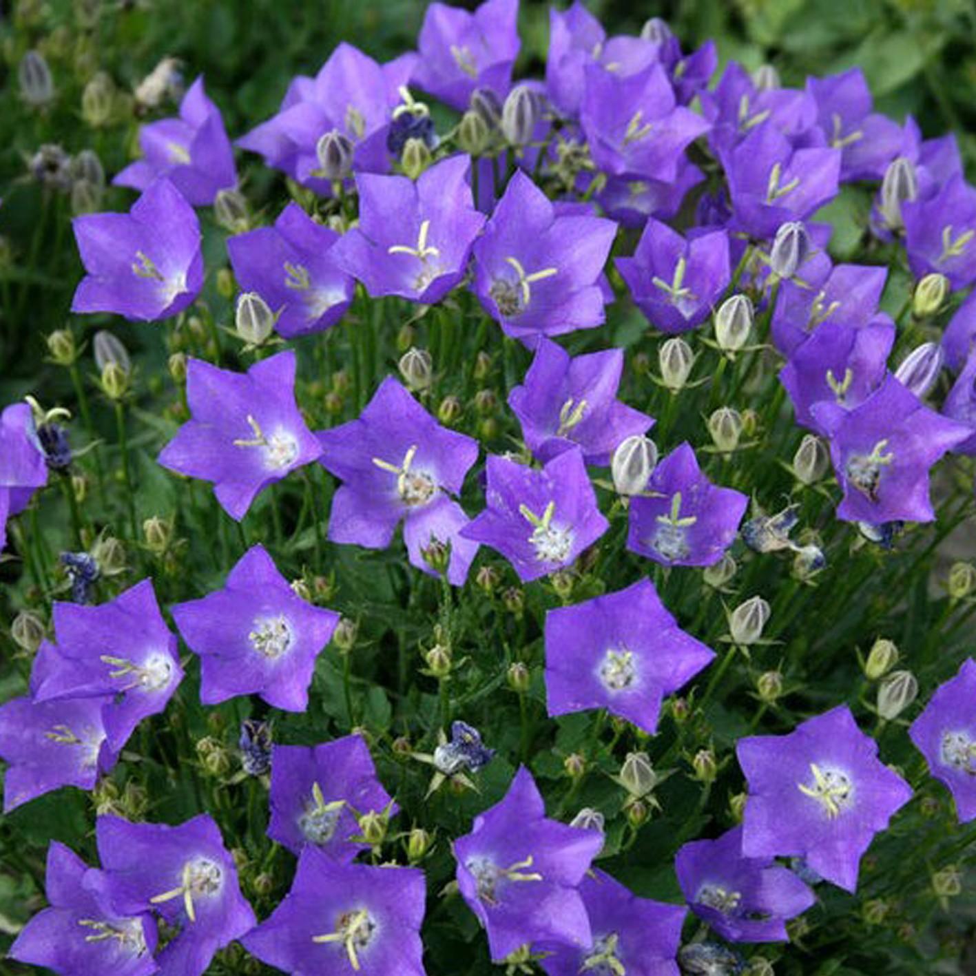 Цветы многолетник колокольчик фото