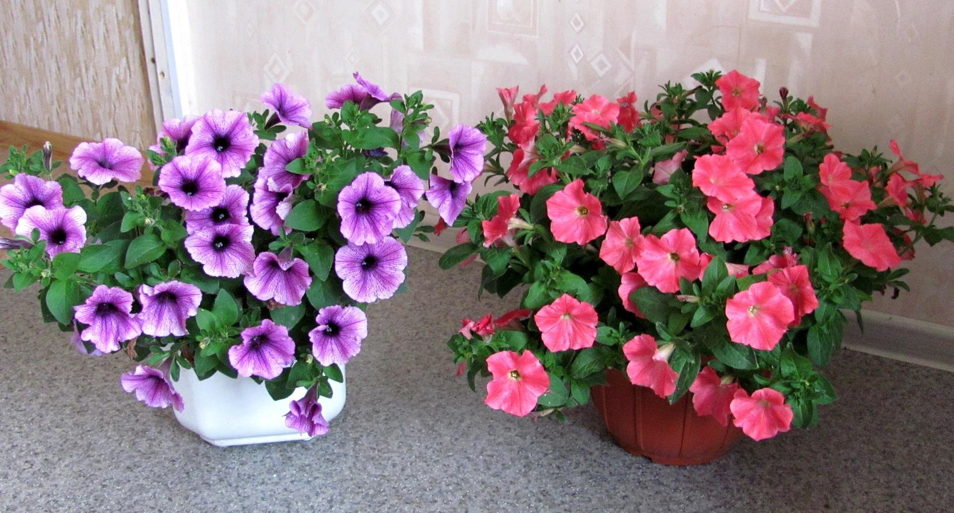 Комнатные цветы петуния фото