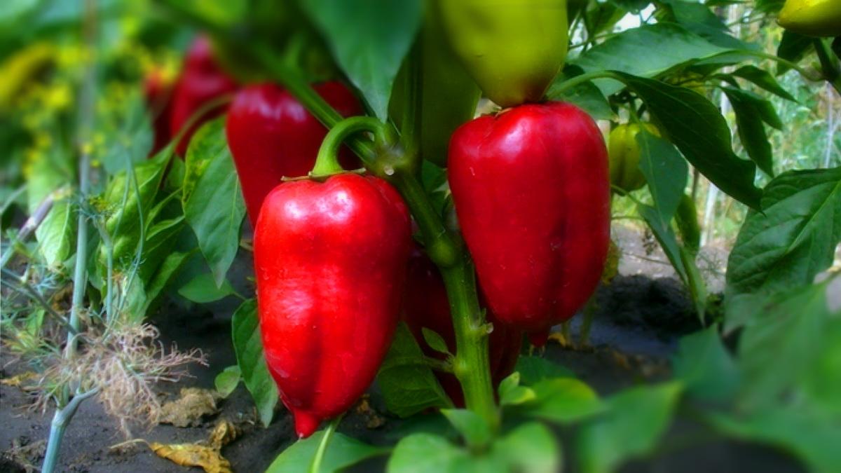 Красный болгарский перец выращивание 20