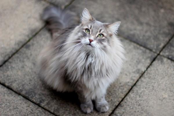 6-Красивая сибирская кошка