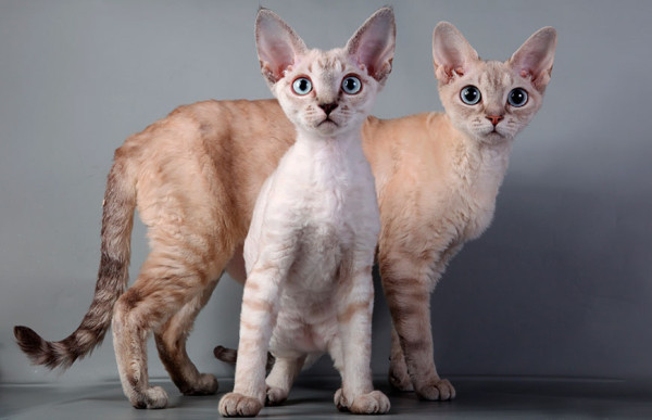Devon_Rex_cat_5