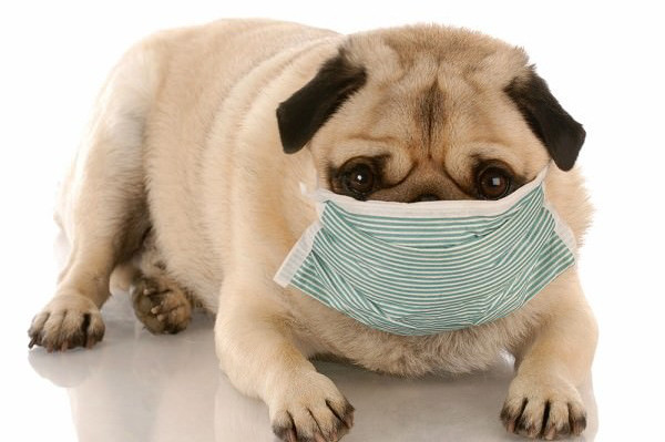 sick-pug-with-mask-on