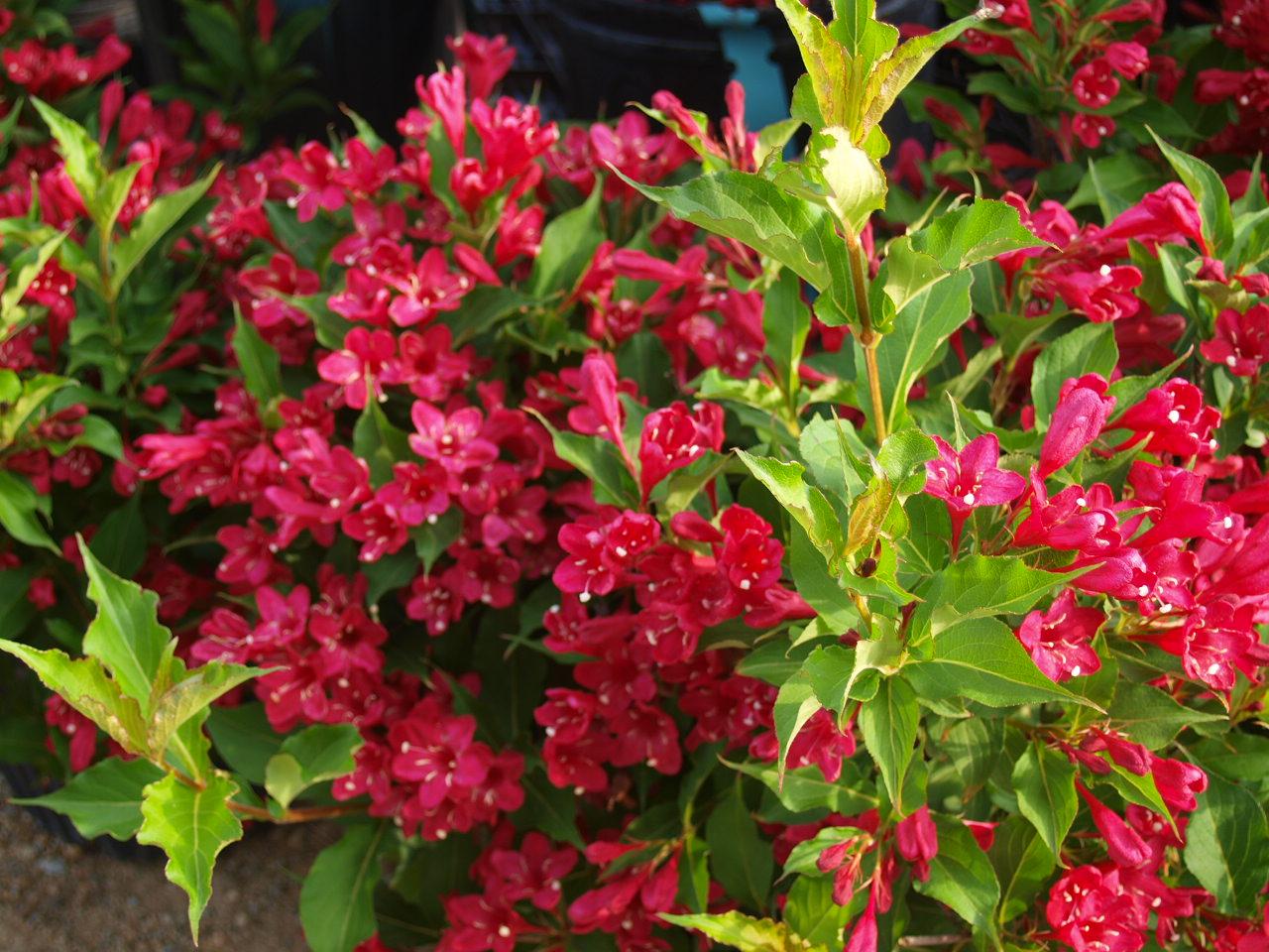 Цветы морозоустойчивые посадка и уход фото