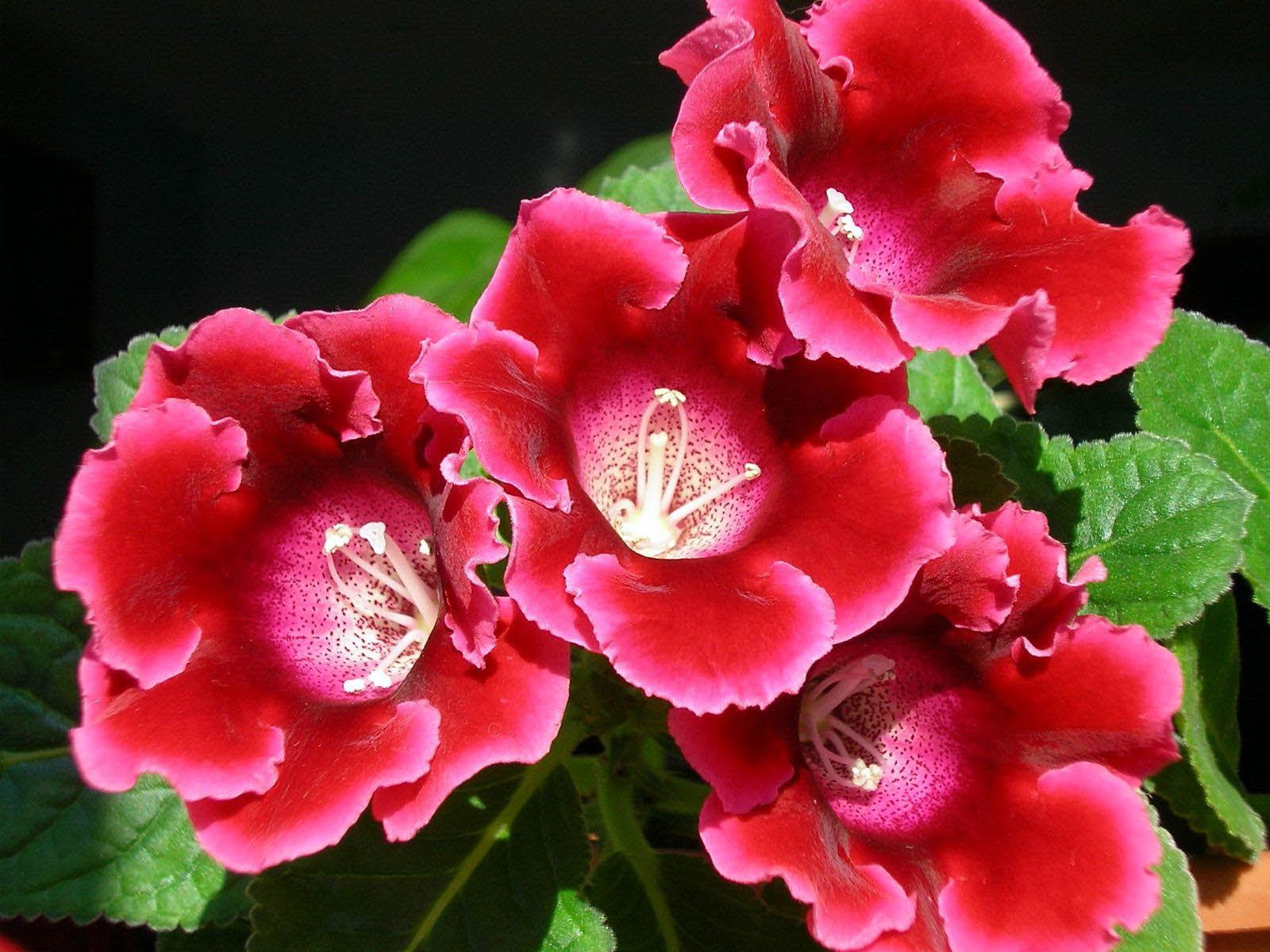 Домашние цветы колокольчики фото и названия