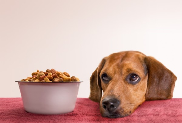 young beagle waits for food...has been blurred some so focus is on eyes and actual dog food.