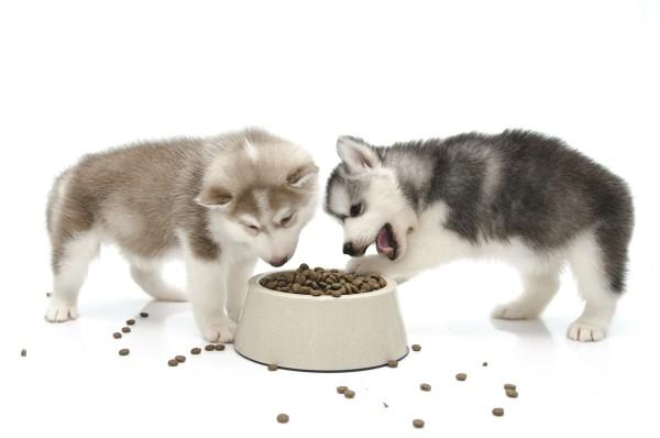 Siberian husky puppy eating food