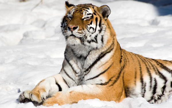 Meditating tiger on snow background / Ìåäèòèðóþùèé òèãð íà ôîíå