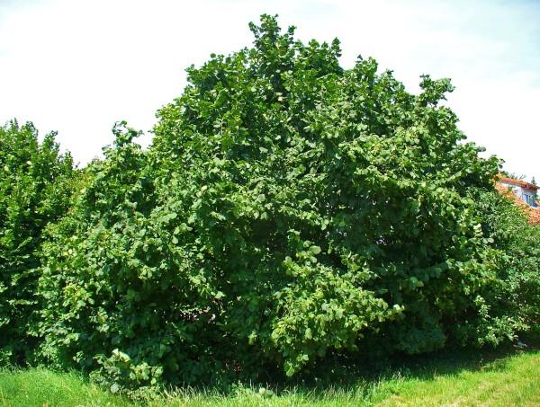 Лещина особенности выращивания 79